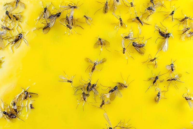 How To Get Rid Of Gnats in Home Instantly - Bestazy Tips