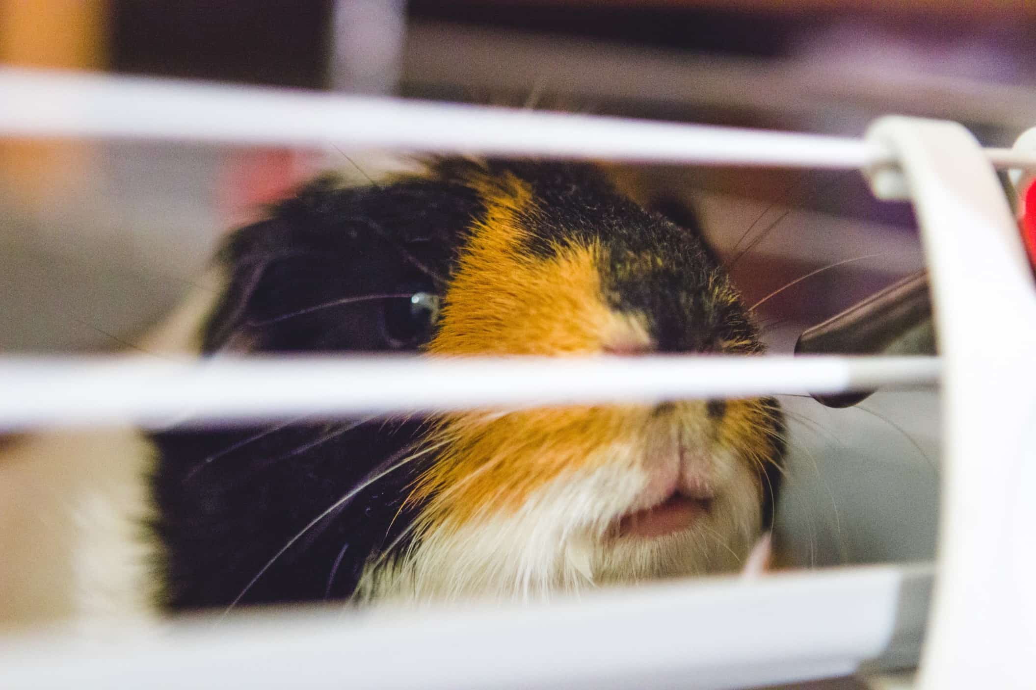 9 Safe and Sturdy Guinea Pig Cage Reviews – Cuddle Your Cavy in 2020